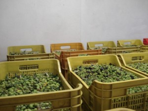 Collection of olives Podere Somigli