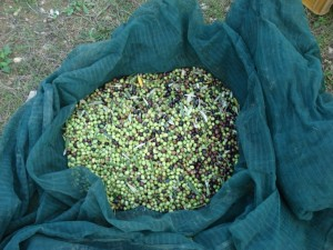 Olives for olive oil at Podere Somigli